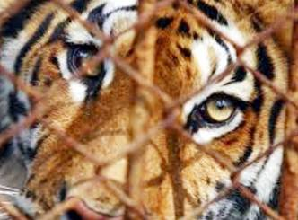 How long will the tiger be restricted to Chanchalaguda!  :Politicking Wishesh