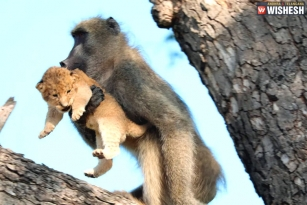 Social Media Turns Weird After A Lion Cub Gets Groomed By Baboon